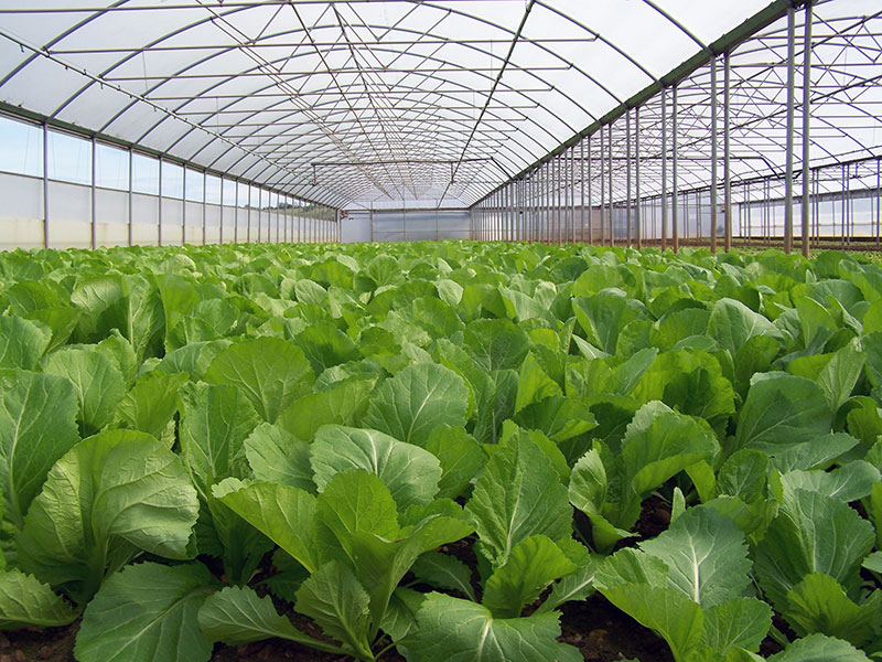 Oriental Vegetable Production in a Keder Growing House